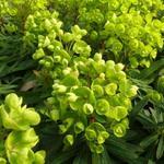 Wolfsmelk - Euphorbia 'Redwing'