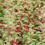 Bellenplant - Fuchsia magellanica var. gracilis
