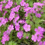 Geranium x riversleaianum 'Russell Prichard' - Ooievaarsbek - Geranium x riversleaianum 'Russell Prichard'