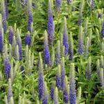 Kleine maagdenpalm - Veronica spicata 'Royal Candles'