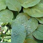 Hosta sieboldiana - Hartlelie/Funkia - Hosta sieboldiana
