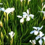 Iris laevigata 'Snowdrift' - Japanse iris - Iris laevigata 'Snowdrift'