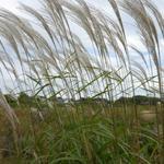 Miscanthus sinensis 'Silberfeder' - Prachtriet - Miscanthus sinensis 'Silberfeder'