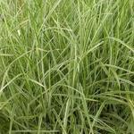 Miscanthus sinensis 'Variegatus' - Prachtriet, bonte Chinese prachtriet - Miscanthus sinensis 'Variegatus'