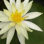 Nymphaea 'Sulphurea' - Waterlelie - Nymphaea 'Sulphurea'