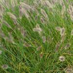 Pennisetum alopecuroides - Lampepoetsergras - Pennisetum alopecuroides