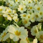 Primula vulgaris - Sleutelbloem, Stengelloze sleutelbloem - Primula vulgaris