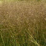 Sporobolus heterolepis 'Cloud' - Prairiedropzaad - Sporobolus heterolepis 'Cloud'