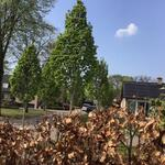 Carpinus betulus 'Columnaris - Carpinus betulus 'Columnaris - Zuilhaagbeuk