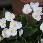 Weldenia candida -