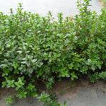 Thymus praecox 'Pseudolanuginosus' - Kruiptijm - Thymus praecox 'Pseudolanuginosus'