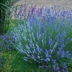 Lavandula - Lavendel - Lavandula