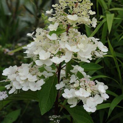 Hydrangea paniculata 'Candlelight' -