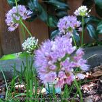 Allium senescens subsp. montanum 'Summer Beauty' - Sierui, Berglook - Allium senescens subsp. montanum 'Summer Beauty'