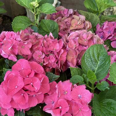 Hydrangea macrophylla 'Little Pink' -
