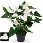 Anthurium andreanum 'White Winner' - Flamingoplant - Anthurium andreanum 'White Winner'