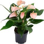 Anthurium andreanum MULTI FLORA Rose Clair - Flamingoplant - Anthurium andreanum MULTI FLORA Rose Clair