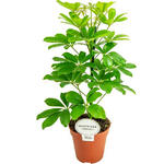 Vingersboom - Schefflera arboricola 'Nora'