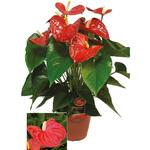 Anthurium andreanum GRANDI FLORA Red - Flamingoplant - Anthurium andreanum GRANDI FLORA Red