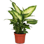 Dieffenbachia 'Camille' - Dieffenbachia - Dieffenbachia 'Camille'
