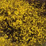 Winterjasmijn - Jasminum nudiflorum