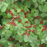 Rode kamperfoelie, Rode struikkamperfoelie - Lonicera xylosteum
