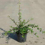 Cotoneaster  radicans 'Eichholz' - Dwergmispel - Cotoneaster  radicans 'Eichholz'