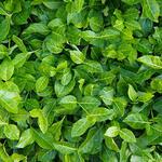 Euonymus fortunei 'Coloratus' - Kardinaalsmuts - Euonymus fortunei 'Coloratus'