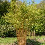 Gouden bamboe, Reuzenbamboe - Phyllostachys aurea