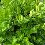 Buxus sempervirens 'Suffruticosa' - Franse buxus, Dwergbuxus - Buxus sempervirens 'Suffruticosa'