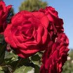 Rosa 'Europeana' - Roos - Rosa 'Europeana'