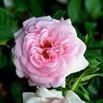 Rosa 'Home & Garden' - Rosa 'Home & Garden' - Roos