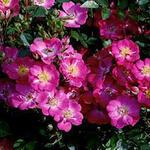 Rosa 'Lupo' - Roos, miniatuurroos - Rosa 'Lupo'