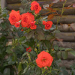 Rosa - climbing (oranje) - Klimroos (oranje) - Rosa - climbing (oranje)