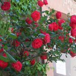 Rosa - climbing (rood) - Klimroos (rood) - Rosa - climbing (rood)