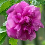 Rosa rugosa 'Hansa' - Bottelroos - Rosa rugosa 'Hansa'