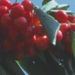 Prunus avium 'Bigarreau Napoleon' - Kerselaar - Prunus avium 'Bigarreau Napoleon'