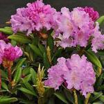 Rhododendron yakushimanum 'Caroline Allbrook' - Rododendron - Rhododendron yakushimanum 'Caroline Allbrook'