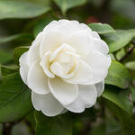 Camellia japonica (wit) - Camelia - Camellia japonica (wit)