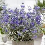 Caryopteris x clandonensis 'Sterling Silver' - Baardbloem, Blauwe spirea - Caryopteris x clandonensis 'Sterling Silver'