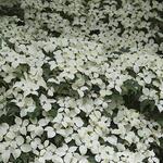 Japanse kornoelje - Cornus kousa 'Weisse Fontaine'