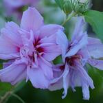 Hibiscus syriacus 'Lavender CHIFFON' - Altheastruik - Hibiscus syriacus 'Lavender CHIFFON'