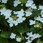 Hydrangea macrophylla 'Lanarth White' - Hortensia - Hydrangea macrophylla 'Lanarth White'