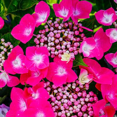 Hydrangea macrophylla 'Teller Pink' - Hortensia - Hydrangea macrophylla 'Teller Pink'