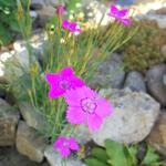 Steenanjer/Zwolse anjer - Dianthus deltoides 'Leuchtfunk'