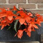 Begonia SUMMERWINGS 'Oranje Elegance' - Begonia SUMMERWINGS 'Oranje Elegance' - Begonia