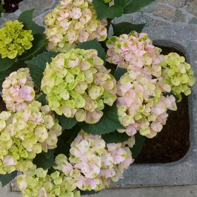 Hydrangea macrophylla MAGICAL 'Pink Cloud' -