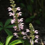 Salvia pratensis 'Rose Rhapsody' - Veldsalie - Salvia pratensis 'Rose Rhapsody'