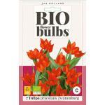 Bio Tulp 'Praestans Zwanenburg' - bio flowerbulbs