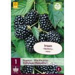Bramen - Rubus fruticosus Thornfree